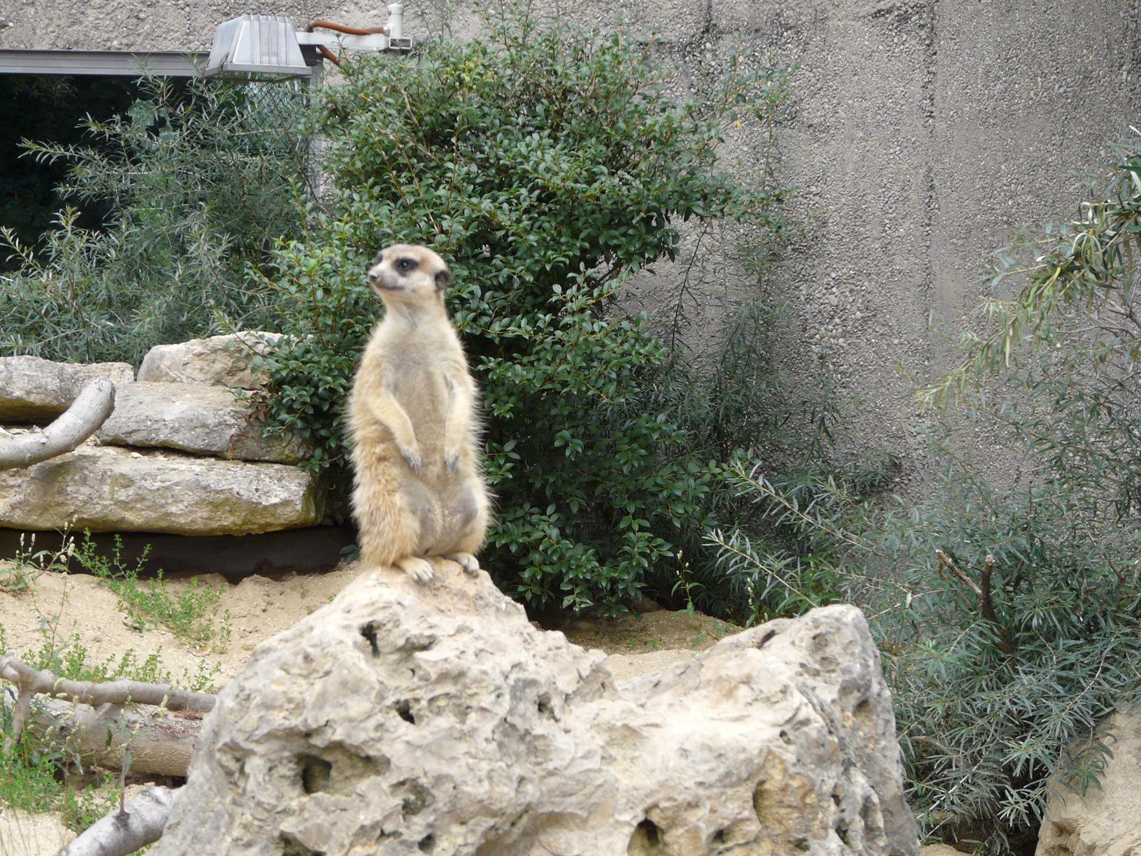 Зоопарк за галене в Швейцария - сурикатите