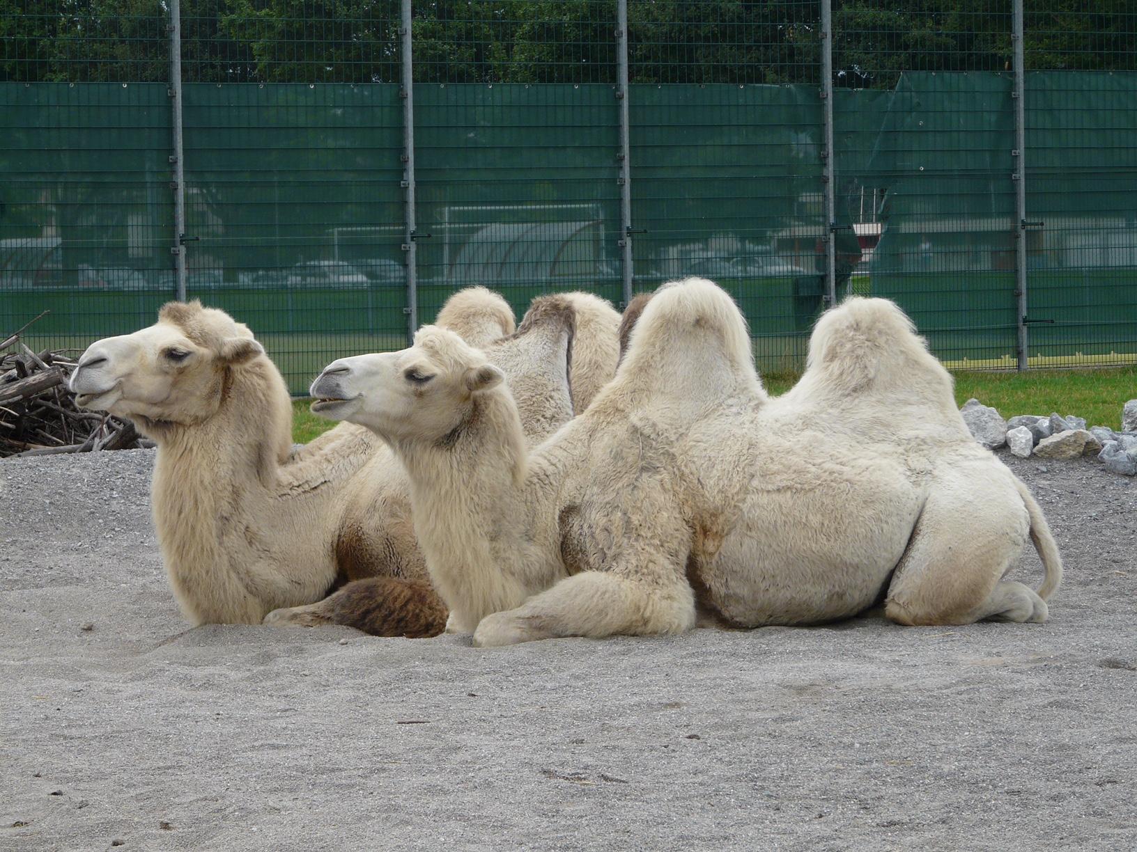 Зоопарк за галене в Швейцария - камилите чакат да ги яздят