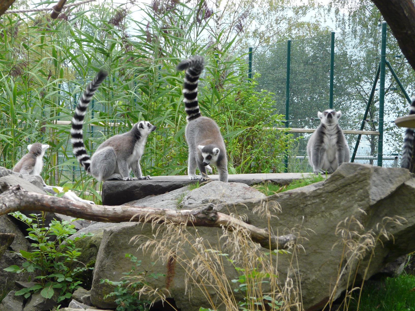 Зоопарк за галене в Швейцария -лемурите