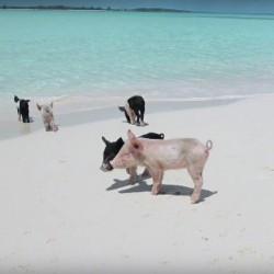 Плуващите прасета – скритата атракция на Бахамите - 2