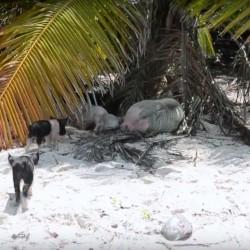 Плуващите прасета – скритата атракция на Бахамите - 4