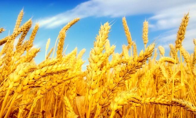 Резултат с изображение за жито
