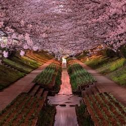В Япония магията, наречена сакура, продължава от края на март чак до май - 2