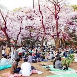 В Япония магията, наречена сакура, продължава от края на март чак до май - 4