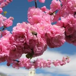 В Япония магията, наречена сакура, продължава от края на март чак до май - 5