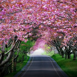 В Япония магията, наречена сакура, продължава от края на март чак до май - 6