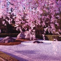 В Япония магията, наречена сакура, продължава от края на март чак до май - 8