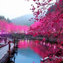 В Япония магията, наречена сакура, продължава от края на март чак до май - 10