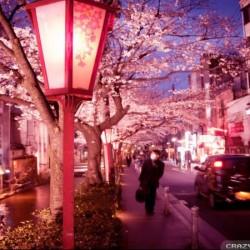 В Япония магията, наречена сакура, продължава от края на март чак до май - 12