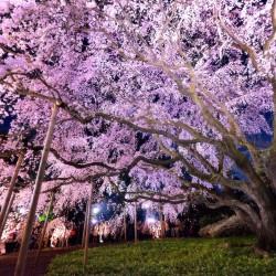 В Япония магията, наречена сакура, продължава от края на март чак до май - 16