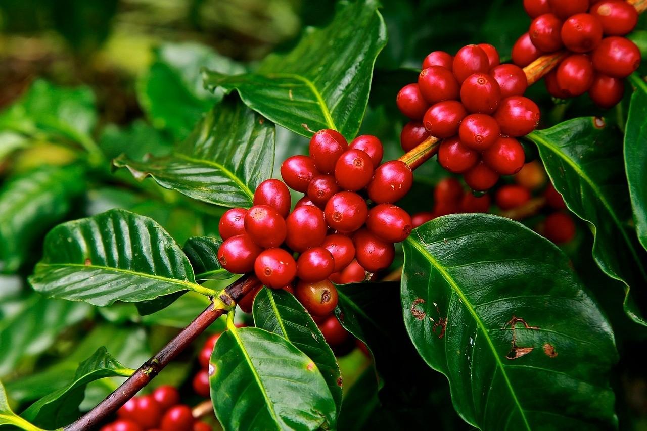 кафе зърна плантация чаша